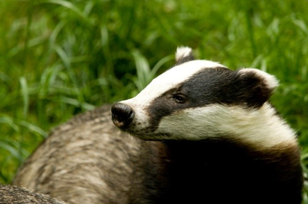 New badger licence could streamline development