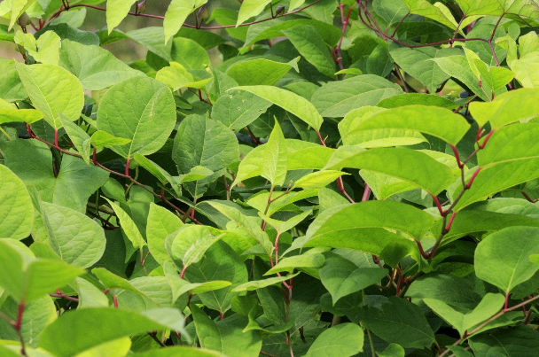 The dangers of Japanese knotweed
